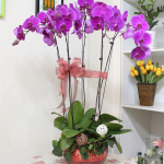 5株蝴蝶蘭:花開富貴