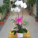 2株白色蝴蝶蘭:幸福一對