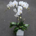 3株白色蝴蝶蘭