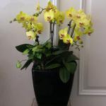 8株黄色蝴蝶兰:祝福