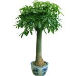 绿植-发财树