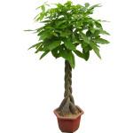 綠植-辮子發財樹A
