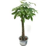 绿植-辫子发财树B