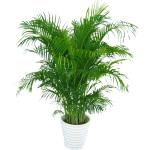 绿植-散尾葵