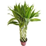 绿植-富贵竹