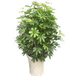 绿植-鸭脚木
