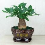 生意兴隆-大发财树盆栽